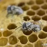 收来的野蜂个体较大,怎么养着养着个体变小了?