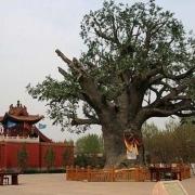 山西省洪洞县的大槐树是一个有名的寻根之地,有多少姓氏是从这里迁移出去的?