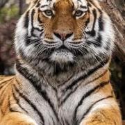 大兴安岭森林中有老虎吗?