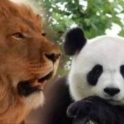 狮子和老虎为什么不吃大熊猫呢?